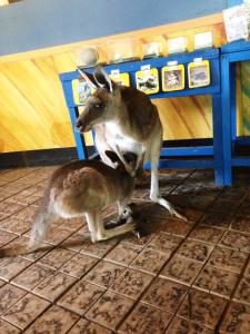 おっぱいを吸うカンガルーの赤ちゃん
