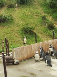 丘を降るペンギン