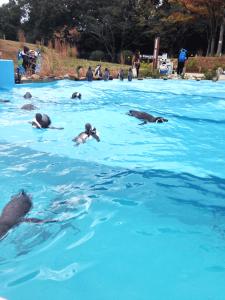 ご飯を食べ終わって泳ぐペンギンたち