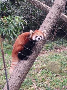 こっち見てるレッサーパンダ